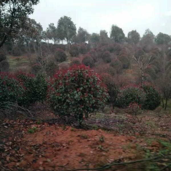 杭州优质红叶石楠,石楠