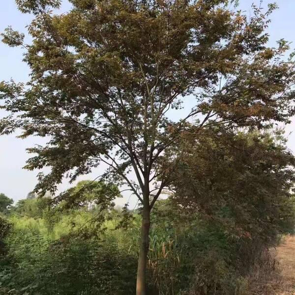 湖北质量榉树多少钱,榉树