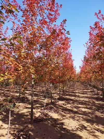 安徽美國紅楓多少錢一棵 濟寧市任城區禾盛苗木種植供應