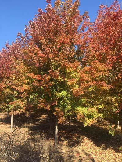 山西美國紅楓基地直銷 濟寧市任城區禾盛苗木種植供應