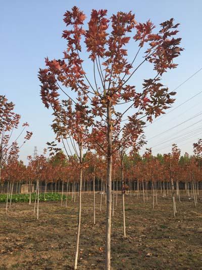 北京美國紅楓苗木