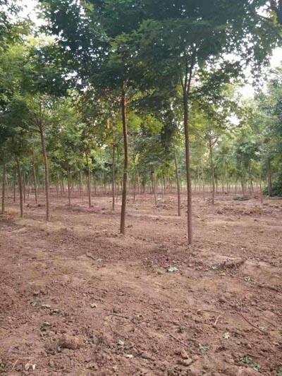 天津元寶楓小苗 濟寧市任城區禾盛苗木種植供應