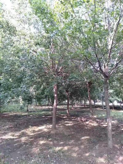 安徽14公分元宝枫 济宁市任城区禾盛苗木种植供应
