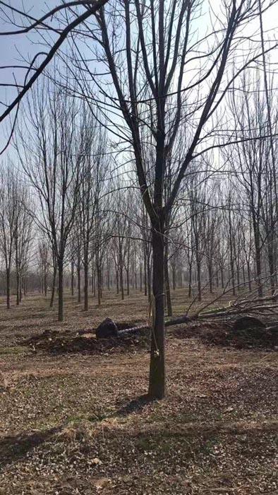 青海18公分白蜡 济宁市任城区禾盛苗木种植供应