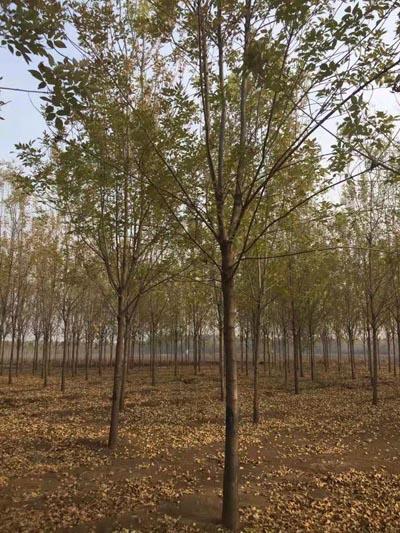 山东白蜡价格 济宁市任城区禾盛苗木种植供应
