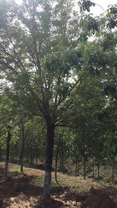 新疆白蜡哪家便宜 济宁市任城区禾盛苗木种植供应