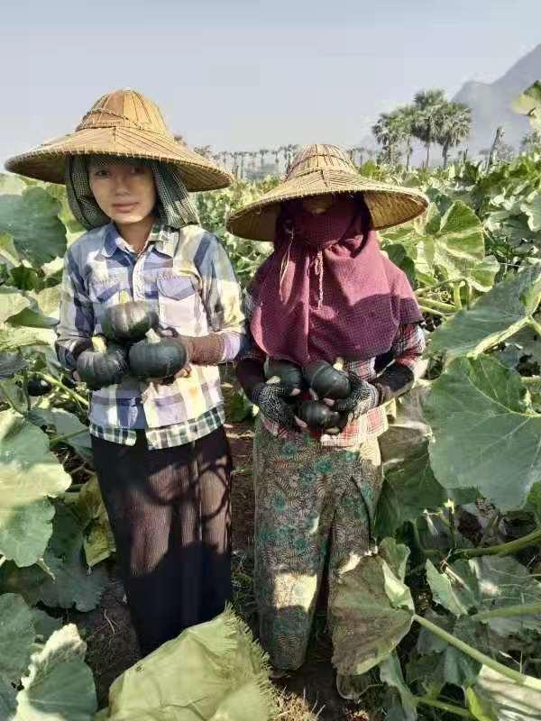 北京板栗味贝贝南瓜电商,贝贝南瓜