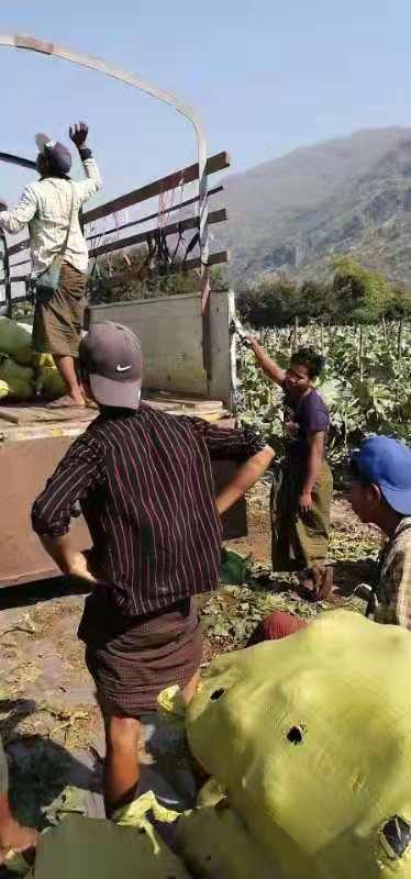 吉林板栗味贝贝南瓜全年直供 服务至上「寿光欧瑞农业开发供应」