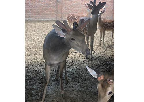内蒙古鹿茸哪里有「偃师市中鹿鹿场供应」