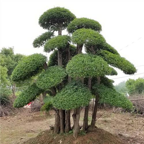 北京对节白蜡 以客为尊「昌盛园林供应」