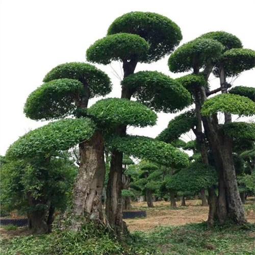 京山对节白蜡优质商家 来电咨询「昌盛园林供应」
