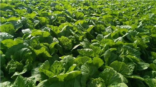 红古区腌制大白菜 信息推荐「榆中茂源土豆产销供应」