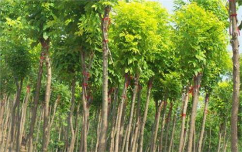 许昌速生白蜡多少钱一颗「长垣县华夏园林绿化供应」
