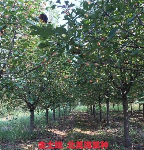 青岛北美海棠苗 欢迎咨询「河东区金土地苗木种植供应」