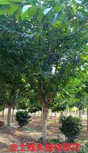 青岛口碑好樱花价格 服务为先「河东区金土地苗木种植供应」