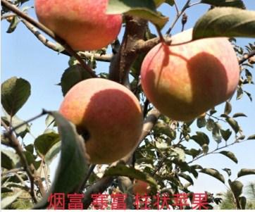 M9T337苹果苗批发价格 欢迎咨询「河东区金土地苗木种植供应」