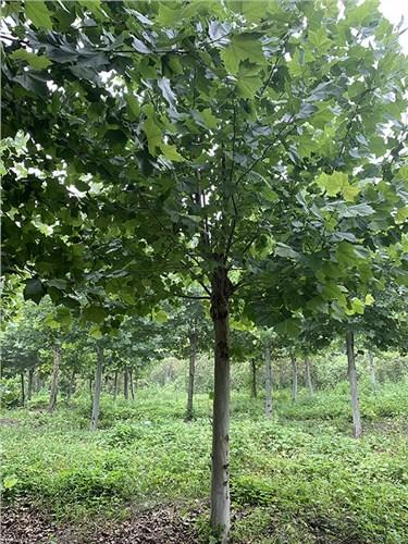 安徽19公分法桐 济宁市任城区禾盛苗木种植供应