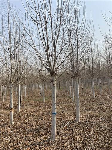 天津现货法桐 济宁市任城区禾盛苗木种植供应