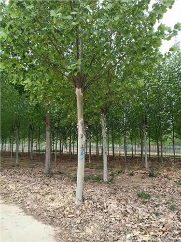 甘肅18-22公分法國梧桐 濟寧市任城區禾盛苗木種植供應