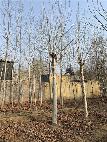 宁夏14公分法国梧桐 济宁市任城区禾盛苗木种植供应