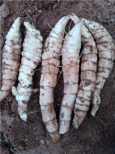 專業蟲草參承諾守信 服務為先 昆明亞約燊農業科技開發供應