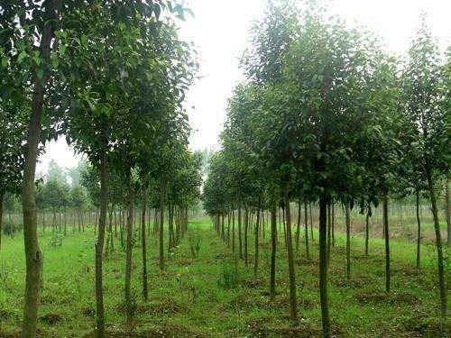 安徽绿化大叶女贞树,大叶女贞