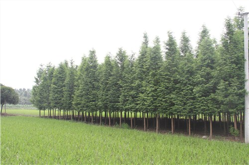 河南销售水杉,水杉