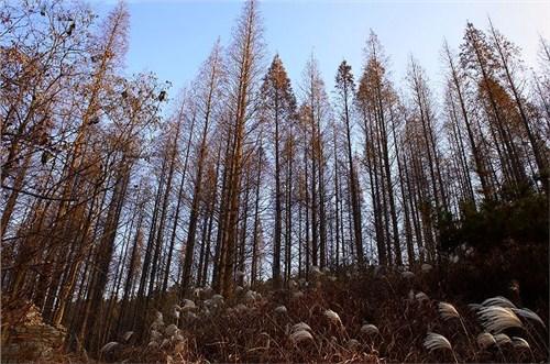 天津知名绿化苗木便宜「东台市淼森苗圃供应」