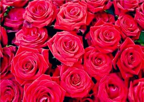 昆明玫瑰批发价格表,玫瑰