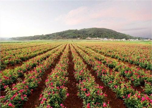 四川玫瑰批发市场 欢迎来电 昆明桥程科技供应