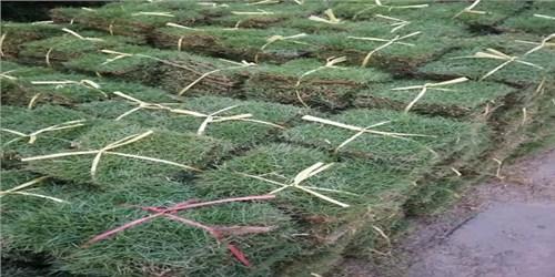 惠州大型马尼拉草哪家好,马尼拉草