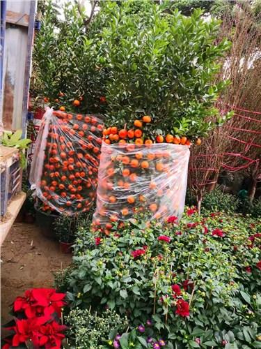 绿色年桔量大从优 和谐共赢「深圳市南山区东江源园艺供应」