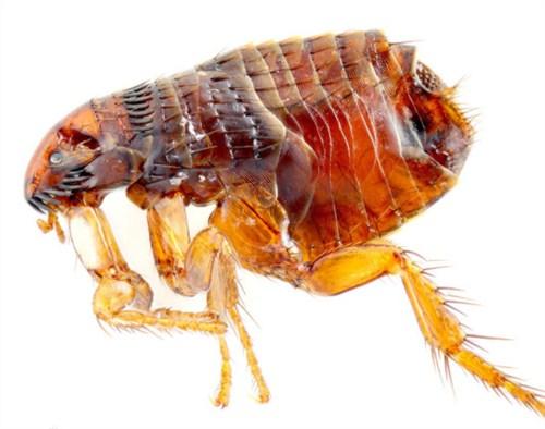 罗湖区口碑好杀灭跳蚤常用解决方案,杀灭跳蚤