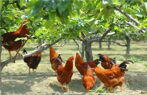 日照口碑好红毛大公鸡多少钱,红毛大公鸡