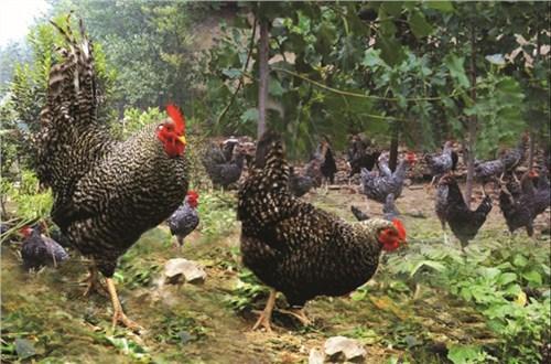 潍坊正宗芦花鸡促销价格 诚信服务「潍坊田园生态农业发展供应」