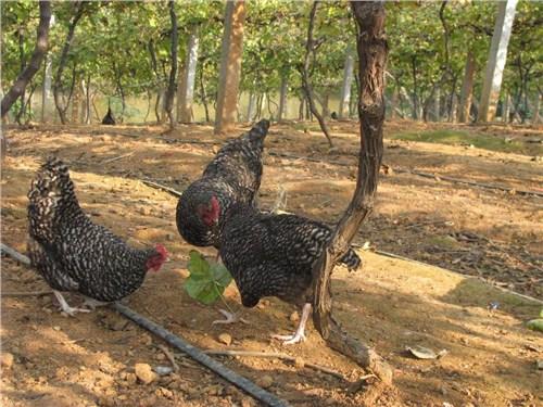 济南养生鸡诚信企业 铸造辉煌「潍坊田园生态农业发展供应」