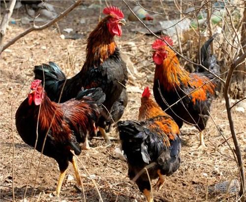 潍坊黑毛大公鸡的行业须知 创新服务「潍坊田园生态农业发展供应」