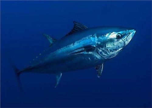 闵行区原装蓝鳍金枪鱼新报价,蓝鳍金枪鱼