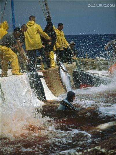 閔行區銷售藍鰭金槍魚省錢 誠信為本「上海鑫瑞食品供應」