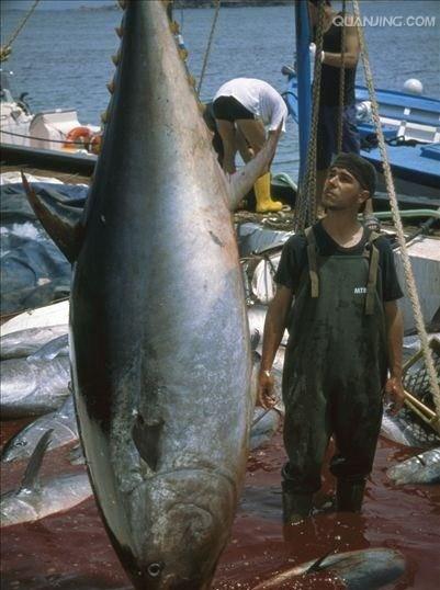 寶山區進口藍鰭金槍魚價格合理 推薦咨詢「上海鑫瑞食品供應」