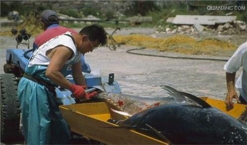 普陀区直销蓝鳍金枪鱼价格 诚信互利「上海鑫瑞食品供应」