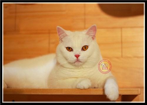 盘龙区英短蓝白猫舍推荐 优质推荐「昆宠生活馆」