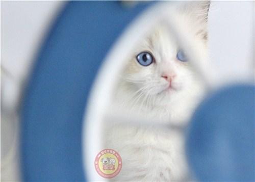 世博片区高品质布偶猫价格「昆宠生活馆」