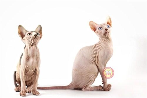 昆明纯种无毛猫猫图片「昆宠生活馆」