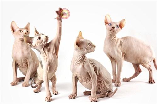 西城时代无毛猫猫出售「昆宠生活馆」