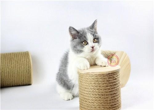 东市区英短蓝白猫群「昆宠生活馆」