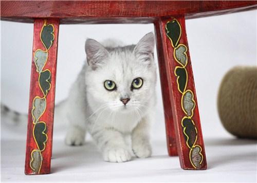 昆明银渐层猫市价,银渐层