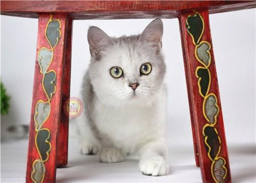 世博片区高颜值银渐层猫群,银渐层