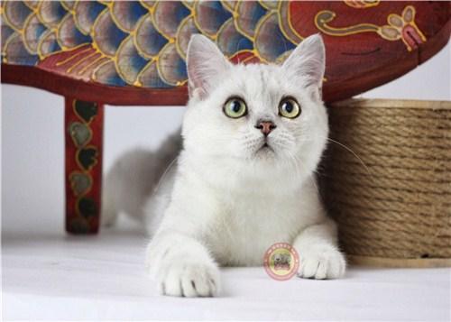 高颜值银渐层猫吧「昆宠生活馆」