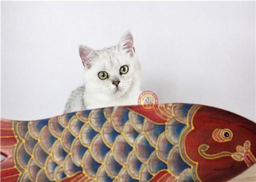 东市区高品质银渐层猫出售,银渐层